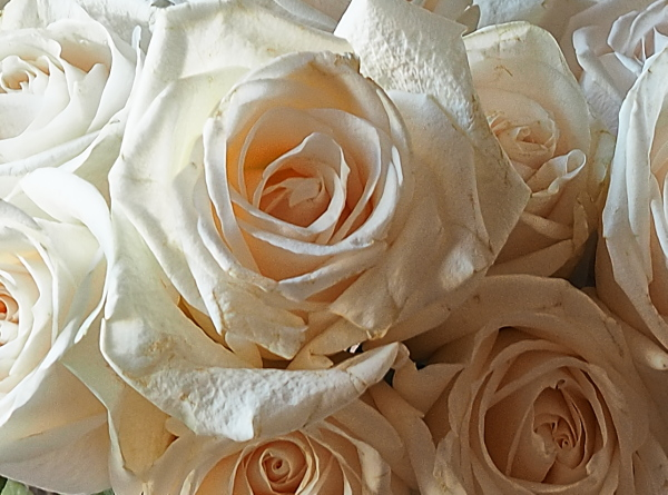 roses blanques