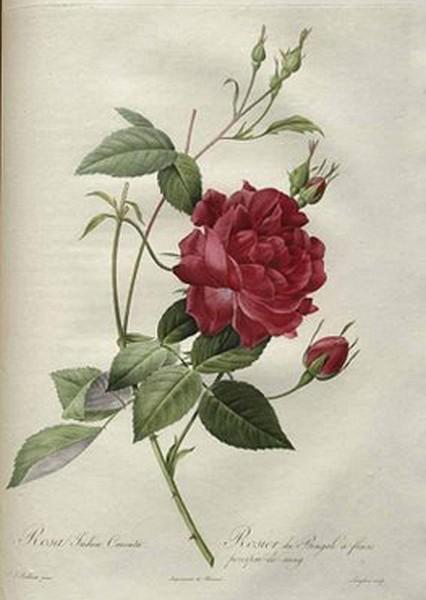 Rosa indica cruenta - J. Redouté