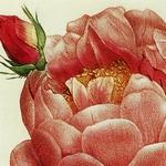 Rosa damascena Celsiana - Pierre Joseph Redouté