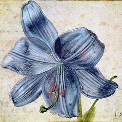 Studie einer Lilie - Albrecht Dürer