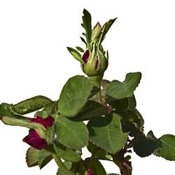 Rose de Rêscht